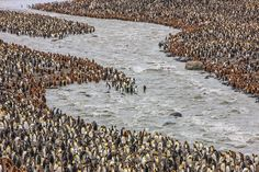 king penguins line a valley floor on south georgia, antarctica by paul nicklen