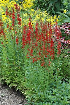 Click to view full-size photo of Cardinal Flower (Lobelia cardinalis) at Connon Nurseries CBV