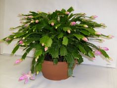 Place your Christmas Cactus in bright indirect light but never direct sun. A Christmas Cactus can live in medium to low light, but flower bu. Christmas Cactus Plant, Easter Cactus, Cactus Flower, Flower Bookey, Flower Film, Flower Pots, Cactus Art, Cactus Decor, Cacti And Succulents