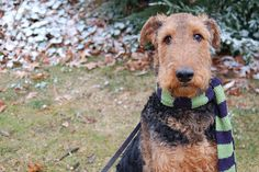 Airedale Terrier! our future pupppyy :D and yes, i will make him wear a scarf exactly this this. hehe