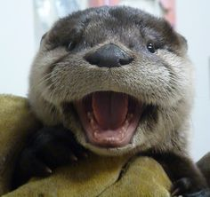 10 week old baby otter @ Fellow Mortals