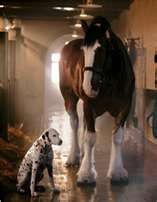 Clydesdale horse and a Dalmatian dog hanging out in the stables.