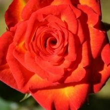 Circus, California Grown Roses, Orange Roses #CAGrown #OrangeRose