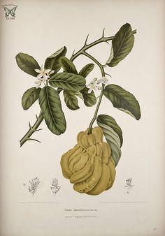 Citron. Citrus medica [as Citrus sarcodactylus] Fleurs, fruits et feuillages choisis de l'ille de Java -peints d'après nature par Berthe Hoola van Nooten (1880) | Flickr - Photo Sharing!