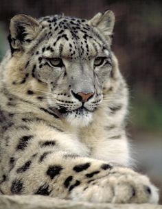 Snow leopard, via Flickr.