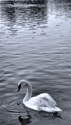 Swans in the park    By MICHELLE OAKES