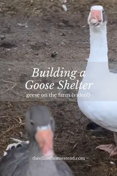 Building a Goose Shelter (video! Backyard Ducks, Backyard Farming, Chickens Backyard, Backyard Birds, Raising Ducks, Raising Chickens, Keeping Chickens, Geese Breeds, Goose House