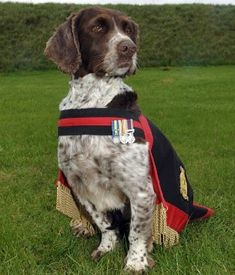 "Buster , is a nine-year-old Royal Air Force bomb-detection dog, ""who braved bombs and bullets over five operational tours of duty"" in places like Bosnia and Afghanistan. The English Springer Spaniel, who's received a series of medals for his service, is retiring to the home of his handler, RAF Police Sergeant Michael ""Will"" Barrow. Sgt. Barrow told the Daily Mail that Buster kept a cool demeanor during even their most dangerous work tracking down insurgents through poppy fields: ""'Each time ..."