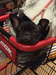 """""""Shhhhh, my mom smuggled me in....but now I'm bored"""", ha, cute French Bulldog Puppy."""