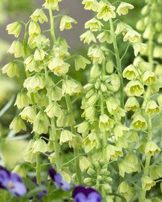 Buy Fritillaria persica Alba bulbs Online | Hayloft Plants