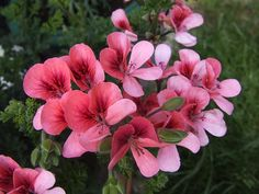 Geranium by suecan71, via Flickr