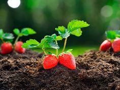 Como Plantar Fresas En Casa En cocina casera ya hemos visto anteriormente como podíamos conseguir semillas de fresa y también como podíamos sembrar nuestra