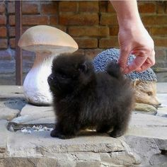 Black Pomeranian. That's what my baby looked like.