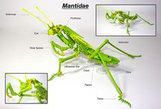 LEGO Praying Mantis (Mantidae) by Siercon and Coral, via Flickr
