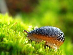 Každoroční invaze slimáků je pro mnoho zahrádkářů pohromou, ve velkém likvidují zeleninu i okrasné květiny. Snail, Animals, Animales, Animaux, Animal, Animais, Slug