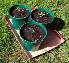 365 Project---Day 122: My little Tiny Tim cherry tomato sprouts transplanted this afternoon into pots and catching some rays! I tried the banana peel wrapped around them---hopefully it will make them healthy and strong!