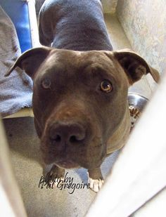 A4805899 My name is Moon. I am a friendly gray female pit bull mix. My owner left me here on March 5. available now. NOTE: Bully breeds are not kept as long as others so these dogs are always urgent!! Baldwin Park shelter https://www.facebook.com/photo.php?fbid=934280263250478&set=pb.100000055391837.-2207520000.1425718887.&type=3&theater