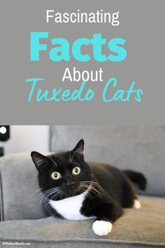 What are tuxedo cats and are they a breed? Discover all about these unique felines and if they make good pets. #tuxedocats #catbreeds #shorthaircatsbreeds #blackandwhitecat #blackcatbreeds Black Cat Breeds, Interesting Facts About Yourself, Cat Body, Tuxedo Cats, Cat Behavior, All About Cats, Cat Facts, White Cats, Maine Coon
