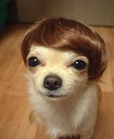 OMG IT;S LOLA LITTLE DOG!!!!!!!!!!!!!!!!  Looks like a Donald Trump combover.
