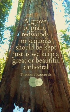 A grove of giant redwoods or sequoias should be kept just as we keep a great or beautiful cathedral – Teddy Roosevelt ~ Just how I feel! Natural treasures are just like architectural ones, we must protect them, preserve them as we do we buildings & One With Nature, Back To Nature, Teddy Roosevelt Quotes, Theodore Roosevelt, Nature Quotes, Life Quotes, Wisdom Quotes, Quotes Quotes, Great Quotes