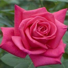 Rosier Lolita Lempicka® (Meizincaro):Pot 2L