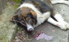 Citizens of Donji Vakuf in Bosnia have poisoned a large number of stray dogs in the last few days, actively violating the Animal Protection and Welfare law of Bosnia and Herzegovina in the worst possible way. Never do they get punished anyway. YOU CAN HELP BY SENDING E-MAIL AT THE BOTTOM TO OFFICIALS. SHARE!!!