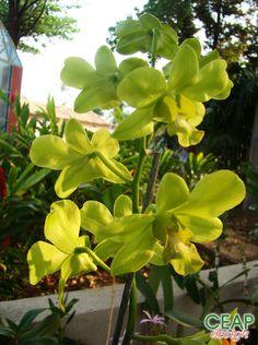 Dendrobium CEAP Design