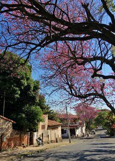 Lapachos. Asunción-Paraguay