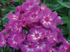 Phlox (Phlox)...Our souls are united