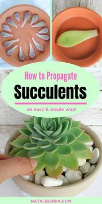 Learn how to propagate succulents from leaves! This easy process will leave you with tiny succulent babies to plant in your garden! # succulent Gardening How to Propagate Succulents from Leaves so You Can Multiply Your Succulent Collection Crassula Succulent, Succulent Gardening, Succulent Care, Succulent Pots, Organic Gardening, Container Gardening, Succulent Ideas, Indoor Succulent Garden, Succulents In Containers