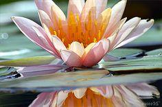 Brookgreen Waterlily, No. 1 | Virginia Saunders Fine Art Photography