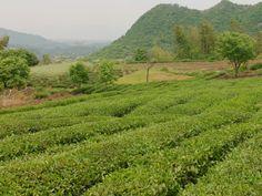 De ouders van onze long jing boer zijn professionele long jing thee boeren en hebben dit hun hele leven gedaan. Jason(tea-adventure) beschreef deze mensen als zeer vriendelijk en een beetje timide,http://tea-adventure.nl/groene-thee/long-jing