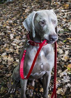 Appenzeller Dog Collar & Leash