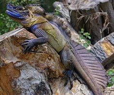 A genetics survey 'resurrects' a sailfin dragon species that was misclassified in 1872, while providing a new blueprint for patrolling a black market trade. Credit: Scott Corning | Genus: Hydrosaurus