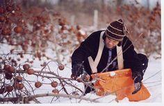 Cueillir les pommes gelées pour fabriquer le délicieux cidre de glace Quebec Winter, Pressed Juice, Filming Locations, Fresh Fruit, Apple Cider, Wines, Photos, Natural, Google