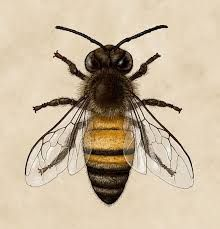 Image result for vintage honey bee line drawings
