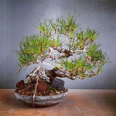 Bonsai, Korea Pine tree, 소나무, Sep. 2016