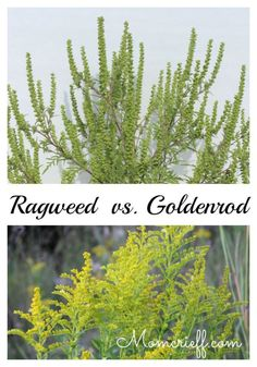 Ragweed - Identifying Ragweed vs. Goldenrod. Lots of pictures to help you! - Momcrieff