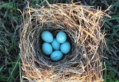 6 egg bluebird nest!! They have all hatched now.