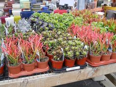 Savvy Succulents and Retro Succulents from Proven winners have arrived. Be sure to come check out our selection! 3/30/12