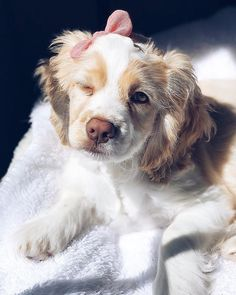"""Exceptional """"spaniel puppies"""" detail is available on our internet site. Cute Little Puppies, Cute Little Animals, Cute Funny Animals, Cute Puppies, Cute Cats, Kittens And Puppies, Baby Puppies, Baby Dogs, Doggies"""