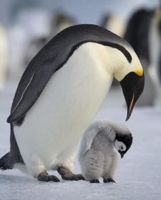 White Christmas: This Emperor penguin with its young chick stands on frozen sea ice in Antarctica Animals Images, Animals And Pets, Animal Pictures, Baby Animals, Cute Animals, Wild Animals Attack, Animal Attack, Cute Creatures, Beautiful Creatures