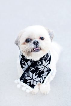 No Sew DIY Dog Scarf - Pretty Fluffy | Make your dog this cute Pom-Pom scarf out of an old sweater or piece of fabric. Easy, simple instructions and no sewing required! #diy #dog