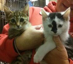 Petfinder  Adoptable | Cat | Domestic Short Hair | Media, PA | Adorable, Adoptable  Kittens!!