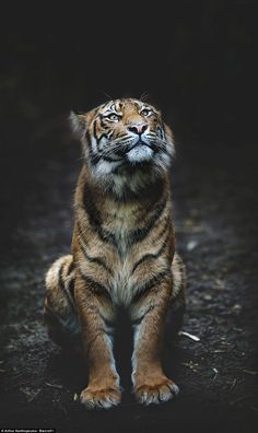 The beautifully detailed photos feature the Sumatran tiger (pictured), which is classed as 'critically endangered' by the International Union for Conservation of Nature and Natural Resources, with numbers in the wild falling