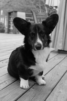 """Cardigan Welsh Corgi... How could you say """"NO"""" to THAT face!?  Great ears."""