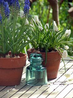 Muscari come in a variety of blue and white and look great in the garden or in containers.   I love to plant them in containers with tulips or daffodils and over plant with pansies.  It gives another entire season of color in early spring before anything can be planted out.  Can be forced inside as well - just use pre-cooled bulbs.