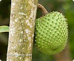 Can we use Guyabano fruit for cancer treatment