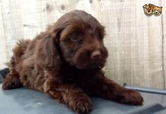 Gorgeous chocolate cockapoo pups for sale | Nelson, Lancashire | Pets4Homes