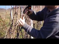 Stříhání révy vinné - jak na to. How we prune grape vines in Moravia, CZ Gardening For Beginners, Grape Vines, Rv, Youtube, Gardens, Gardening For Dummies, Motorhome, Vineyard Vines, Outdoor Gardens